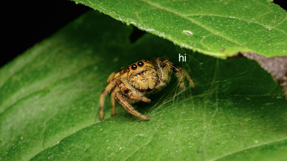 A jumping spider peeking out from under a leaf